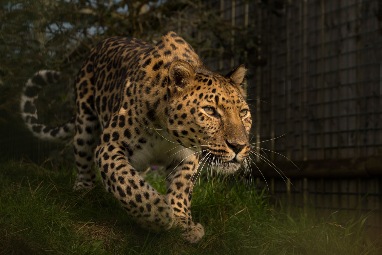 big cat sanctuary leopard artur
