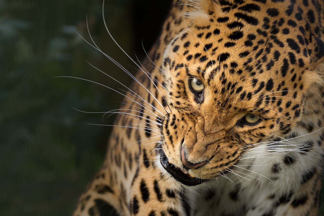 big cat wildlife photography