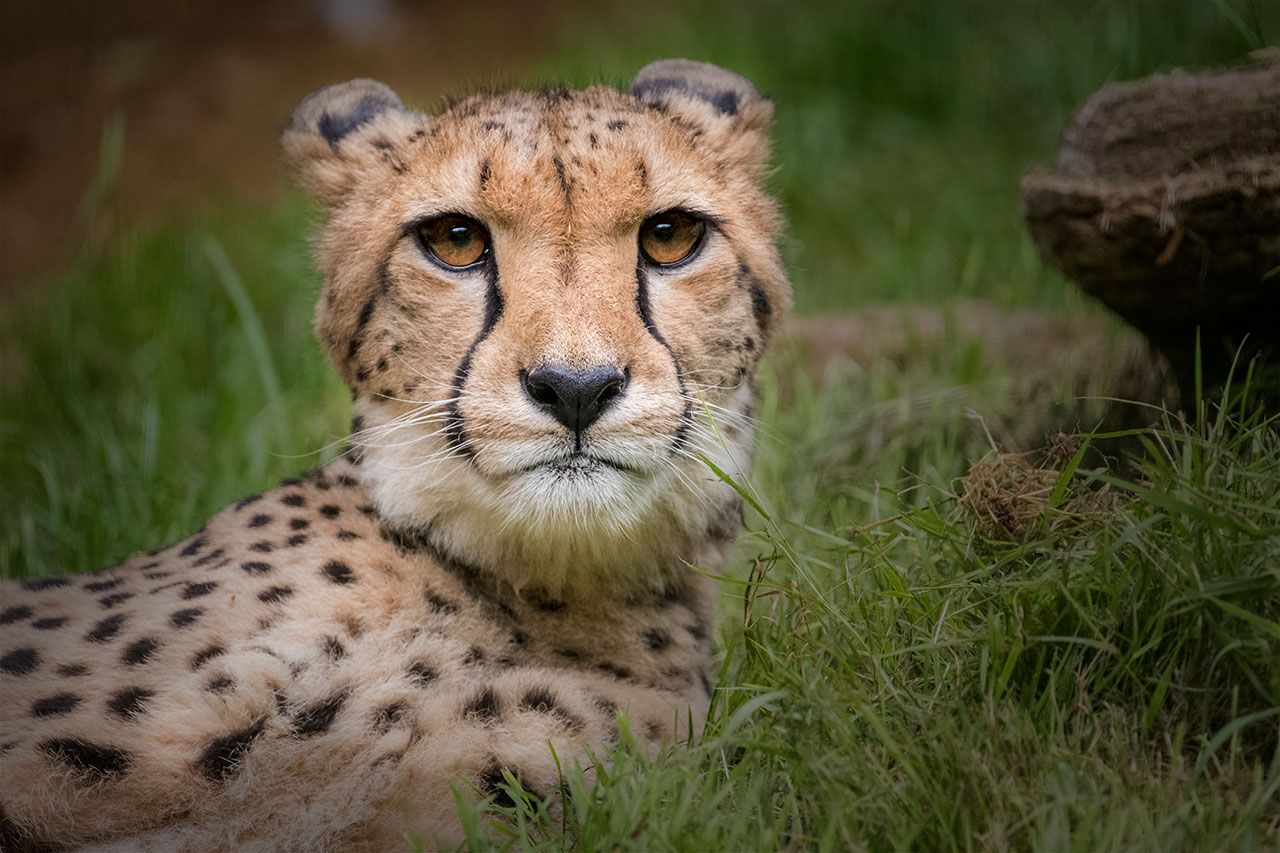 paradise wildlife park cheetah